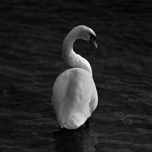 Basel Swan